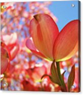 Blue Sky Pink Azalea Dogwood Flowers 4 Landscape Nature Artwork Acrylic Print