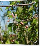 Blue Sky Pink Blossoms Acrylic Print