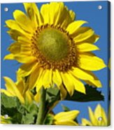 Blue Sky Sunflower Day Acrylic Print