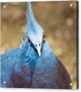 Blue Stare Acrylic Print