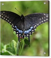 Blue Tailed Black Butterfly Acrylic Print