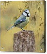 Blue Tit Bird II Acrylic Print