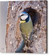 Blue Tit Leaving Nest Acrylic Print by Cliff Norton