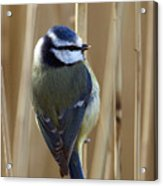 Blue Tit On Reed Acrylic Print