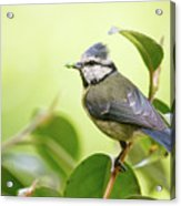 Blue Tit With Caterpillar Acrylic Print