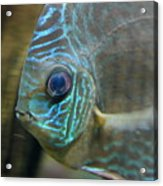 Blue Tropical Fish Acrylic Print