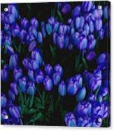 Blue Tulips Acrylic Print