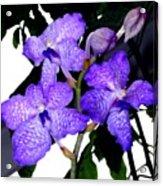 Blue Violet Orchids Acrylic Print