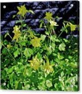 Blue Wall Yellow Columbine Acrylic Print