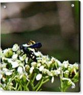 Blue Wasp 2 Acrylic Print by Douglas Barnett