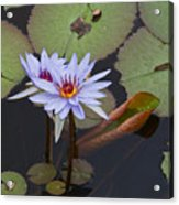 Blue Water Lilies Of Belize Acrylic Print