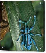 Blue Weevel Acrylic Print