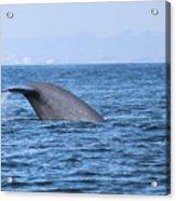 Blue Whale Tail Flop Acrylic Print