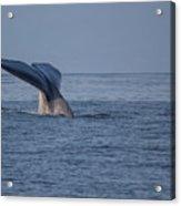 Blue Whale Tail Acrylic Print