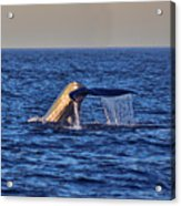 Blue Whales Tail Acrylic Print