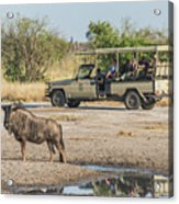 Blue Wildebeest Beside Puddle With Jeep Behind Acrylic Print