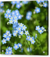 Blue Wildflowers Forget Me Nots Acrylic Print