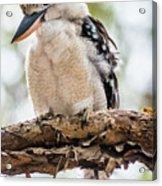 Blue-winged Kookaburra Acrylic Print