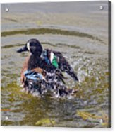 Blue Winged Teal 5 Acrylic Print
