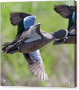 Blue-winged Teal In Flight 3 Acrylic Print