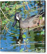 Blue-winged Teal Acrylic Print