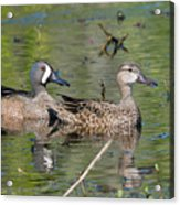 Male And Female Blue-winged Teal  Acrylic Print