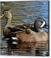 Blue Winged Teal Pair Acrylic Print