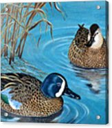 Blue-winged Teals Acrylic Print