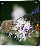 Blue-winged Wasp On Mint Acrylic Print