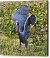 Blue Wings And Green Pond Acrylic Print