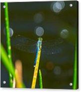 Blue Wings Acrylic Print