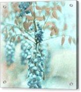 Blue Wisteria Acrylic Print