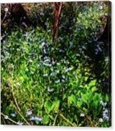 Bluebell 23 Acrylic Print