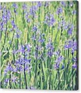 Bluebell Bluebells Flowers Blooming In Spring Acrylic Print