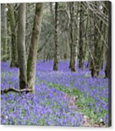 Bluebell Wood Effingham Surrey Uk Acrylic Print