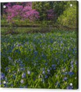 Bluebells And Redbuds Acrylic Print