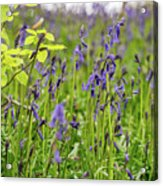 Bluebells In Judy Woods Acrylic Print
