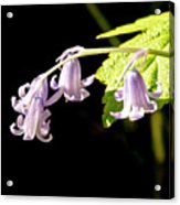 Bluebells Under The Sun Ray. Acrylic Print