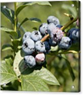 Blueberries On Blueberry Bush Acrylic Print