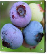 Blueberries On The Vine 2 Acrylic Print