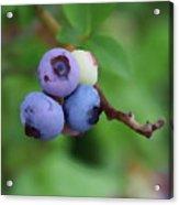 Blueberries On The Vine 3 Acrylic Print