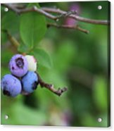 Blueberries On The Vine 4 Acrylic Print