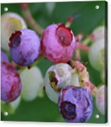 Blueberries On The Vine 5 Acrylic Print