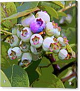 Blueberries On The Vine 7 Acrylic Print