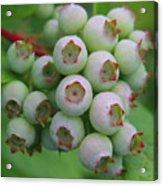 Blueberries On The Vine 9 Acrylic Print