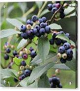 Blueberry Bounty Acrylic Print