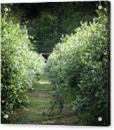 Blueberry Bushes Acrylic Print
