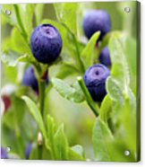 Blueberry Shrubs Acrylic Print