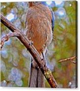 Bluebird 010 Acrylic Print