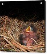 Bluebird Babies Acrylic Print